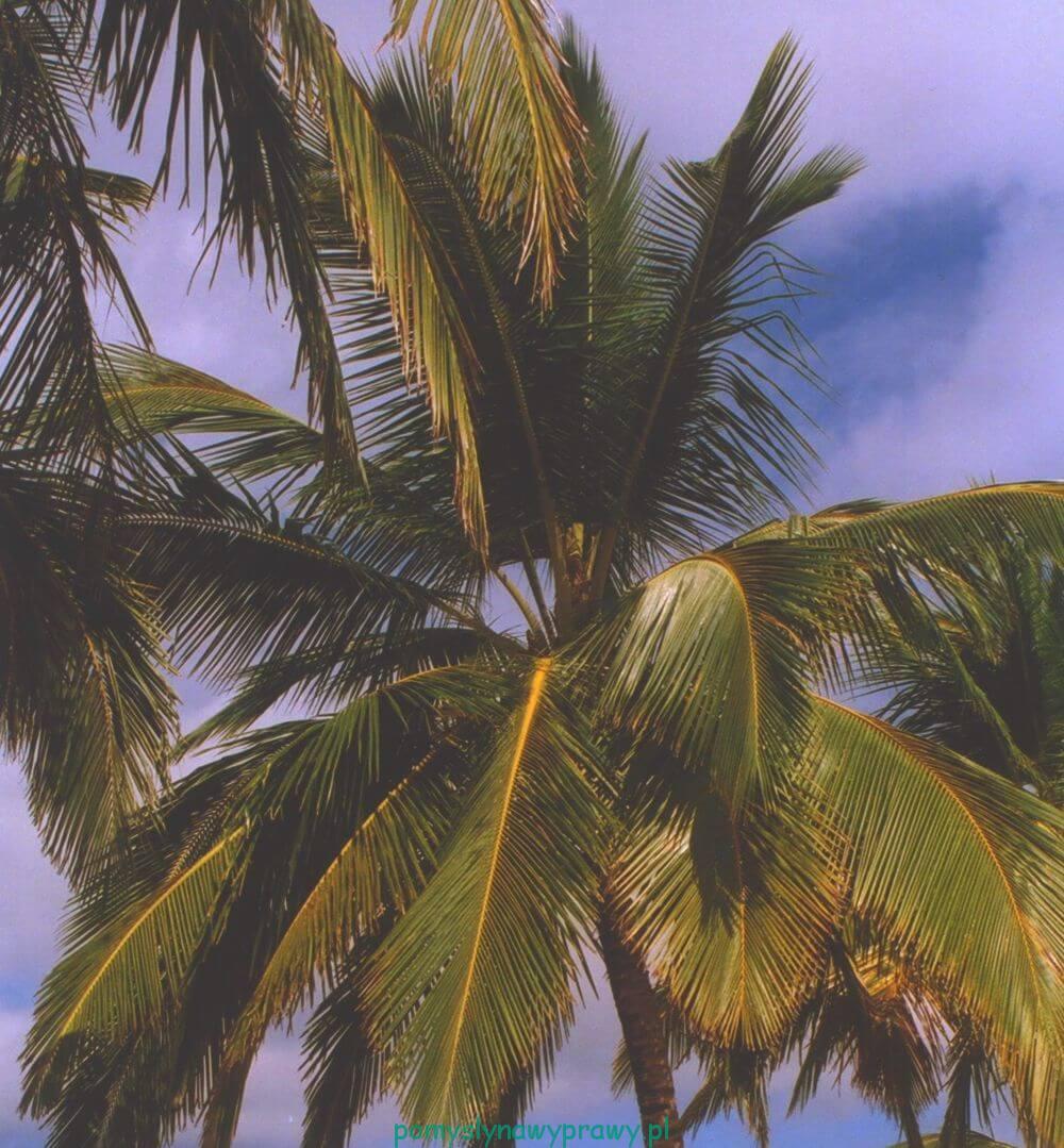 Dominikana palma kokosowa