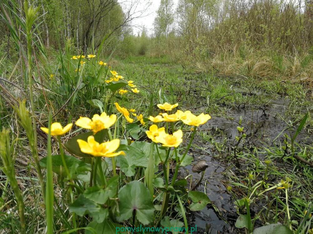Biebrza szlak żółty Kopytkowo