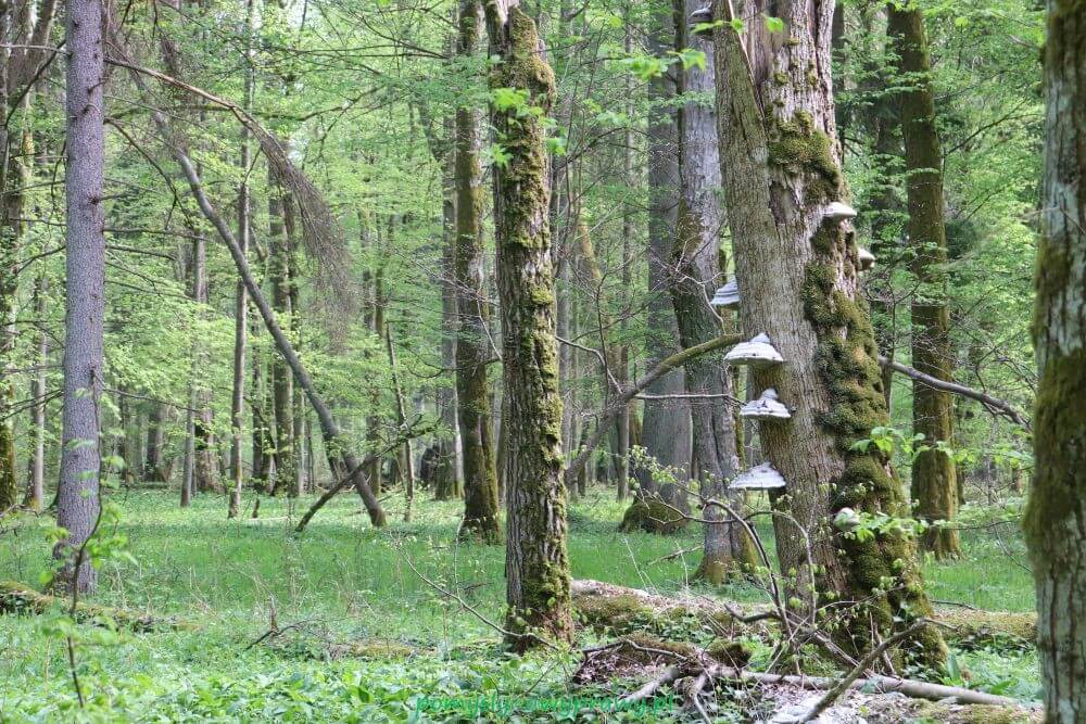 Podlasie Białowieża Puszcza Białowieska Białowieski Park Narodowy rezerwat ścisły