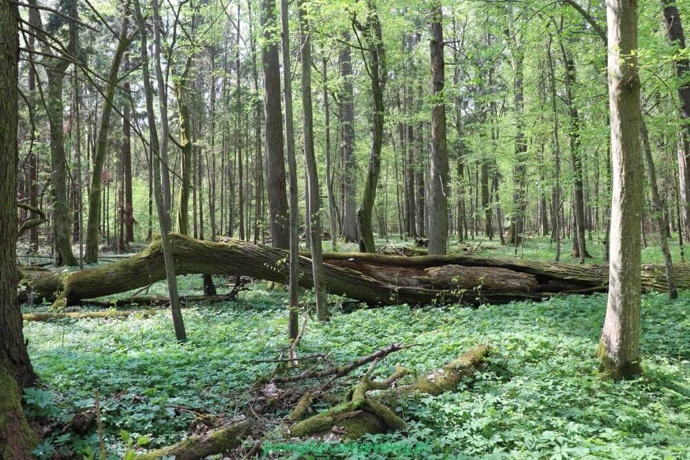 Podlasie Bialowieza Puszcza Bialowieska rezerwat scisly