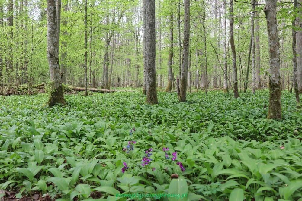 Podlasie Białowieża Puszcza Białowieska Białowieski Park Narodowy rezerwat ścisły czosnek niedźwiedzi