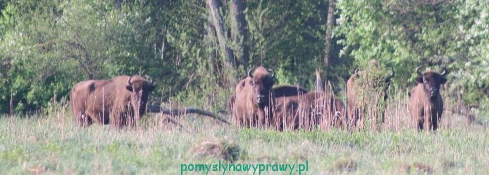 Podlasie Białowieża Puszcza Białwieska Białowieski Park Narodowy wyprawa na poszukiwanie żubrów świt
