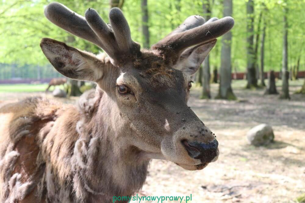 Podlasie Białowieża Puszcza Białowieska Rezerwat Pokazowy Żubrów