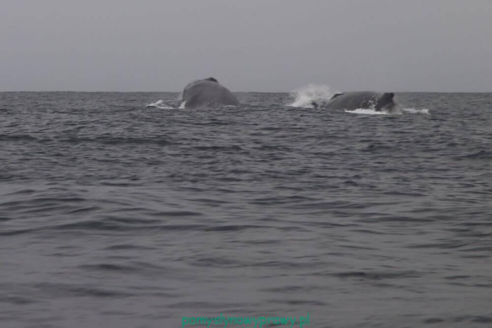 Panama Isla Iguana wieloryby humbaki