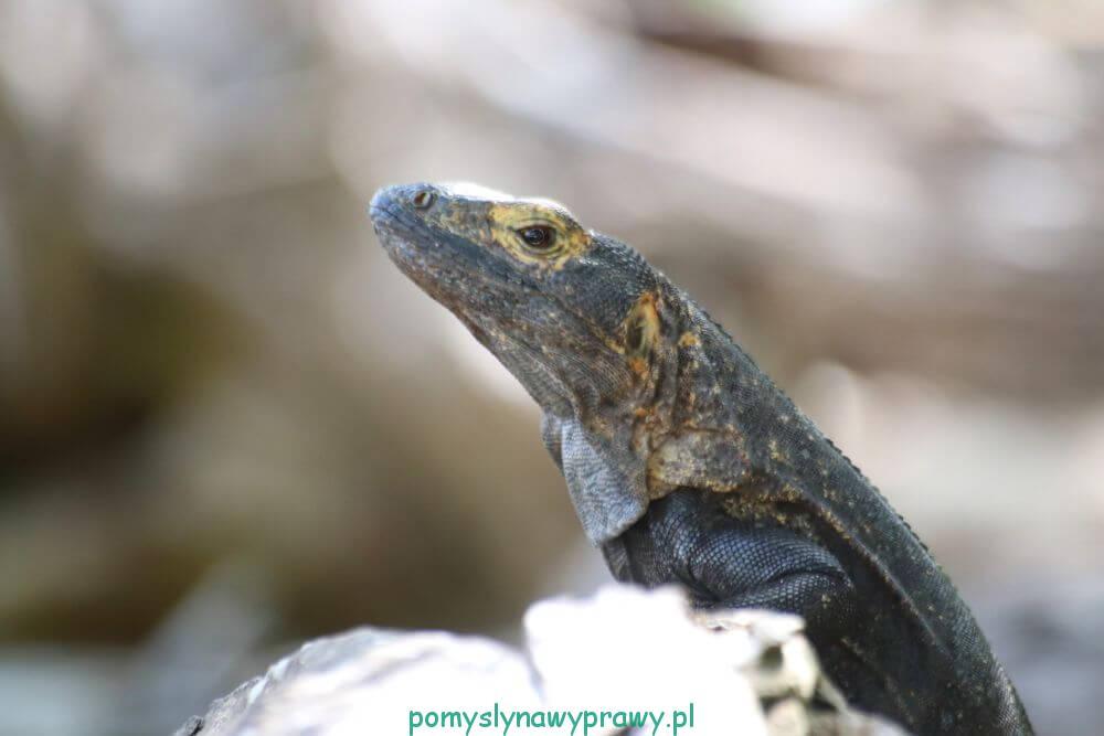 Panama Wyspy Perłowe Taboga iguana