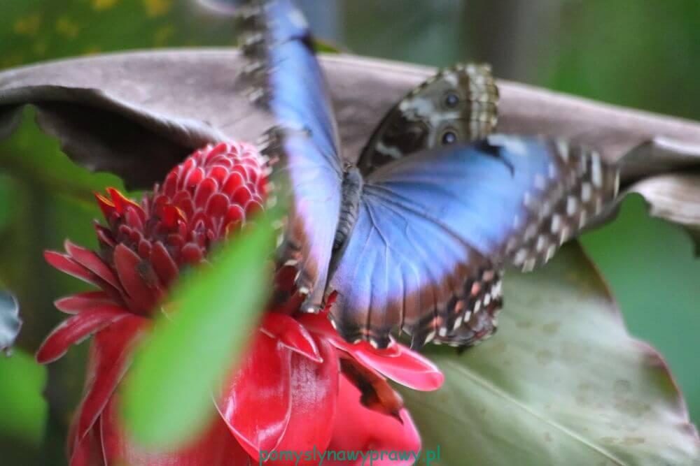 Panama Blue Morpho