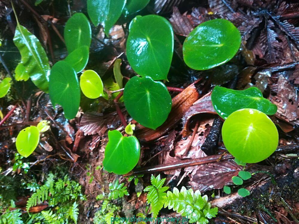 Panama dżungla
