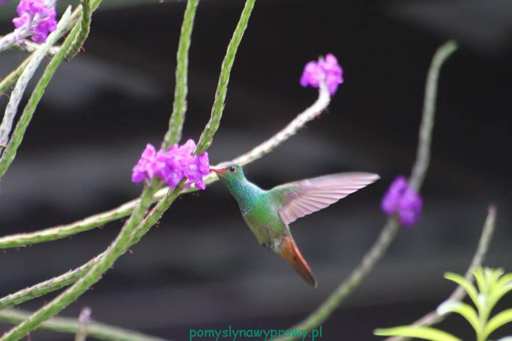 Panama Boquete koliber