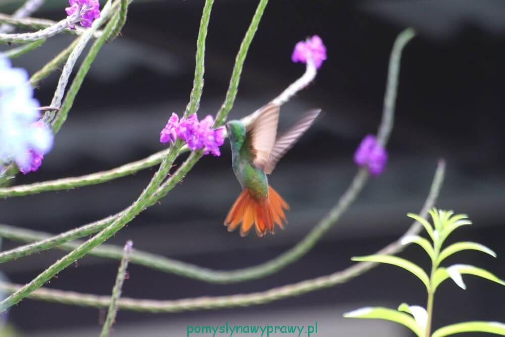 Panama Finca Lerida kolibry