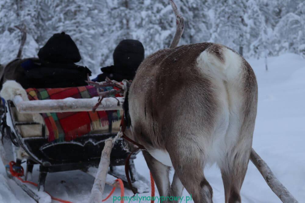 Laponia Finlandia renifery
