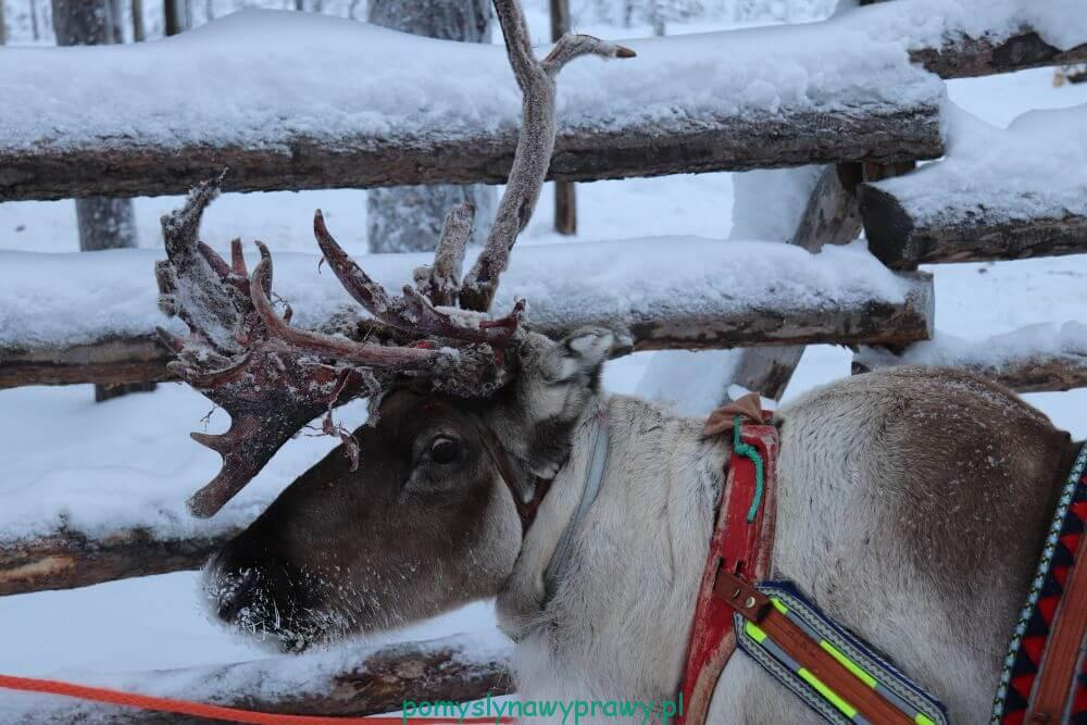 Laponia Finlandia renifer safari