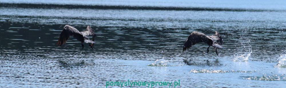 Suwalszczyzna Podlasie Polska Jezioro Wigry kormorany