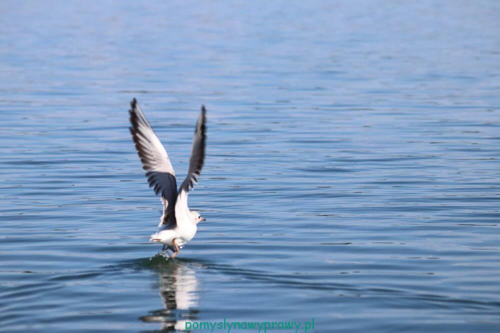 Suwalszczyzna Podlasie Polska Jezioro Wigry ptactwo