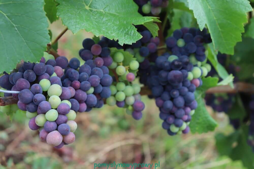 Niemcy winnice