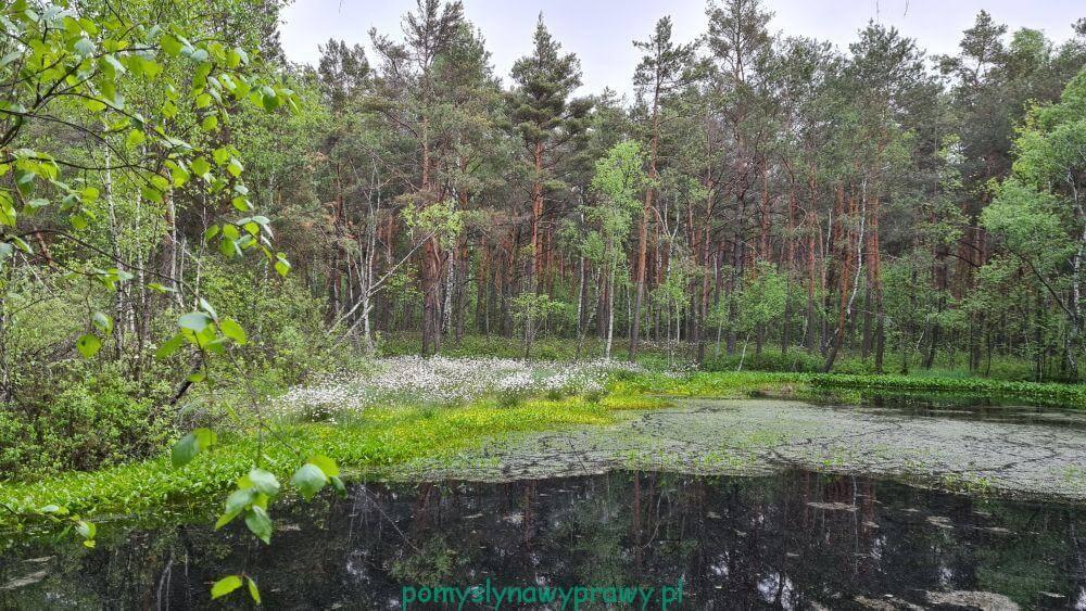 Poleski Park Narodowy torfianka