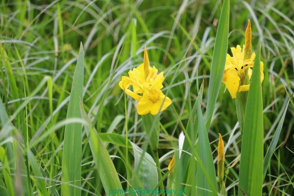 Poleski Park Narodowy kosaciec żółty